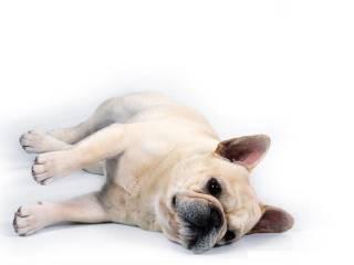 animasi-bergerak-bulldog-perancis-0002