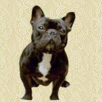 animasi-bergerak-bulldog-perancis-0003