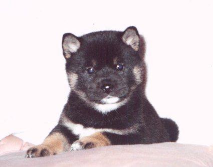 animasi-bergerak-anjing-shiba-0022