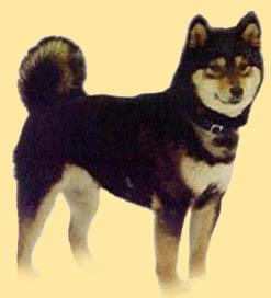 animasi-bergerak-anjing-shiba-0036