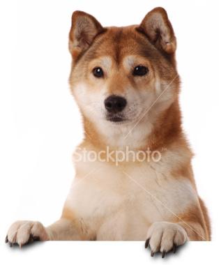 animasi-bergerak-anjing-shiba-0039