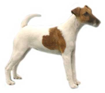 animasi-bergerak-anjing-terrier-jack-russell-0007